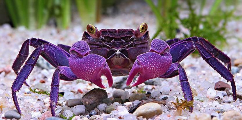 Le crabe vampire aux pinces mauves est originaire de Java. © Chris Lukhaup