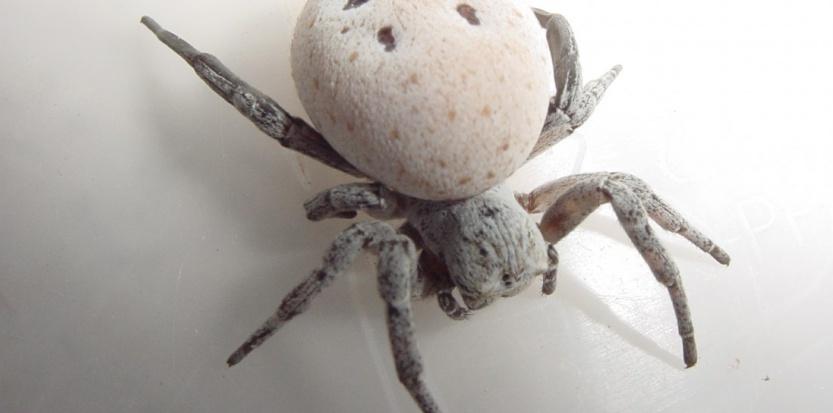 Sitôt fécondée, cette araignée de velours se prépare biologiquement pour être mangée par ses petits. Mor Salomon/ Israel Cohen Institute for Biological Control.