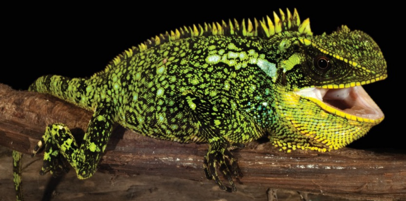Enyalioides altotambo, une nouvelle espèce de dragon nain © Luis A. Coloma / Zookeys