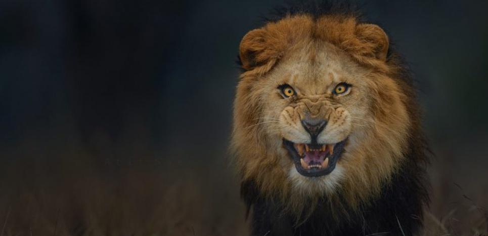 Le regard de ce lion est aussi fascinant qu'effrayant. ©Atif Saeed