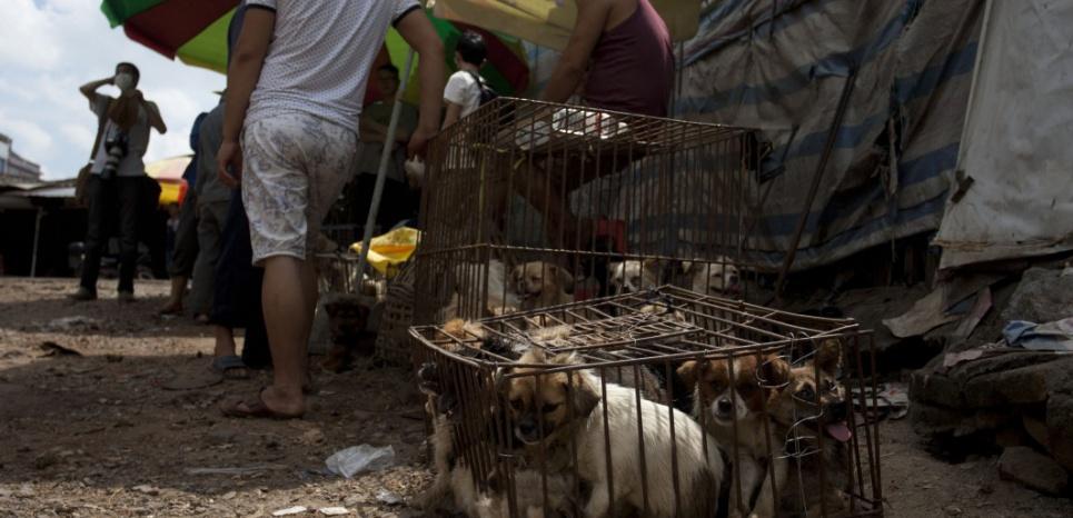 Les vendeurs de chiens attendent les clients, tandis que les animaux, entassés dans une cage trop petite, souffrent de la faim et de la soif. © STR / AFP