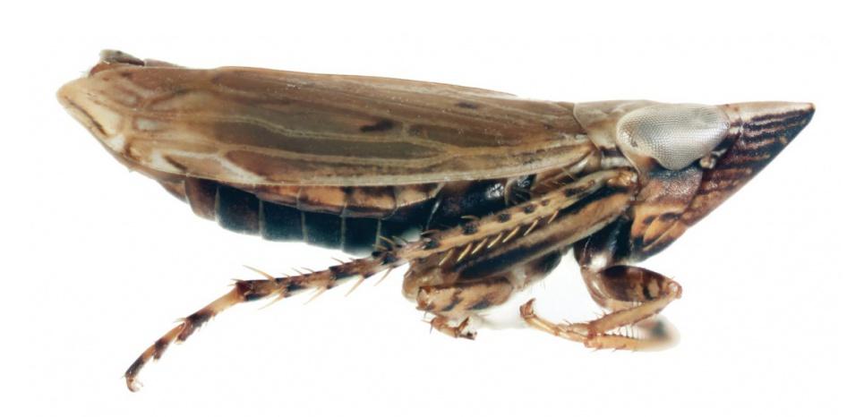 Une cicadelle F.whitcombi mâle © Dr. Andrew Hicks