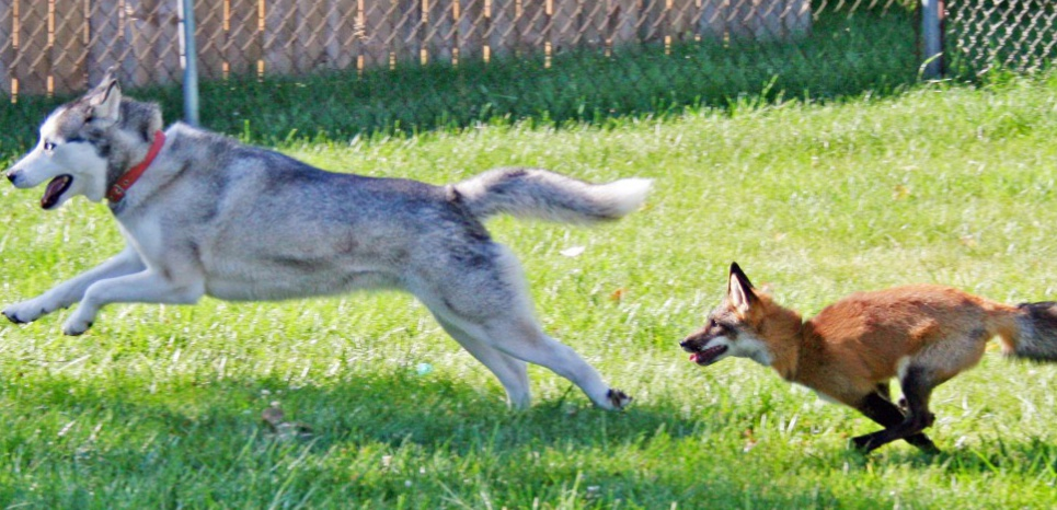 Le renard (vulpes vulpes) et ce chien domestique (canis lupus familiaris) de race husky sont deux espèces de canidés. Leur technique de chasse ? Celle de la course-poursuite. © CHRIS AND ASHLEY DALEY/CA/SIPA
