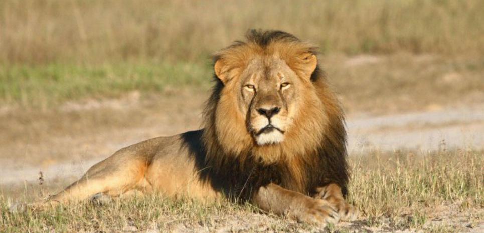 Le lion Cecil a été tué par Walter Palmer, un dentiste américain. (A.LOVERIDGE/AP/SIPA)