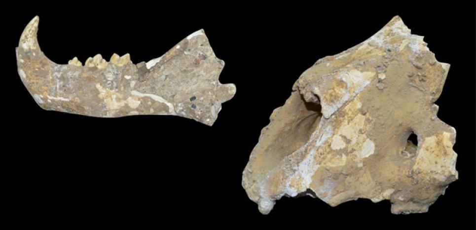 Fossiles de lion des cavernes découvert dans la grotte d'Iman dans l'Oural (Russie). ©Dmitriy Gimranov