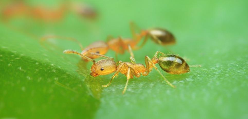 Deux fourmis viennent collecter du miel, déposé sur la feuille d'une plante. © SIPA PRESS