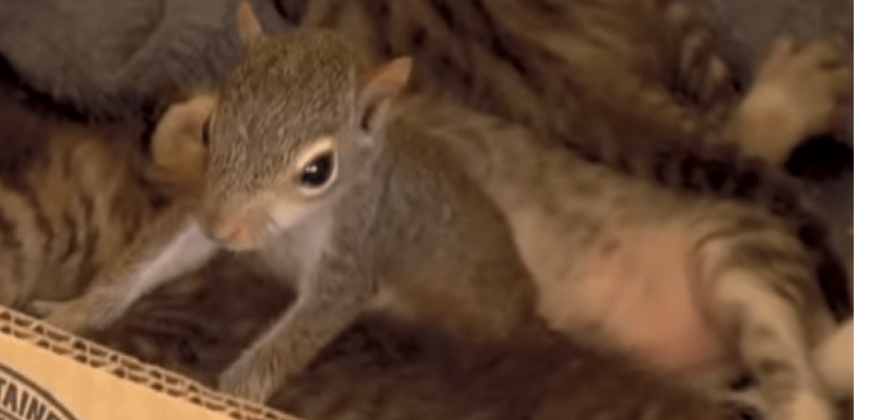 L'écureuil, nommé Rocky, siège au sein d'une famille de chat dans laquelle il est accepté comme les autres. © SHARKSWHALESANIMALS's channel
