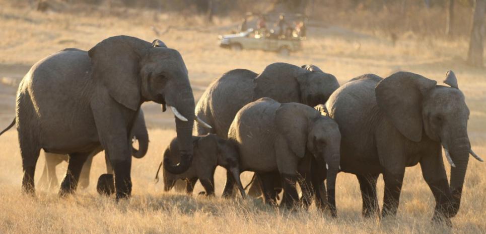 Au moins 14 éléphants sont mort au parc national de Hwange, au Zimbabwe. © CHINE NOUVELLE/SIPA