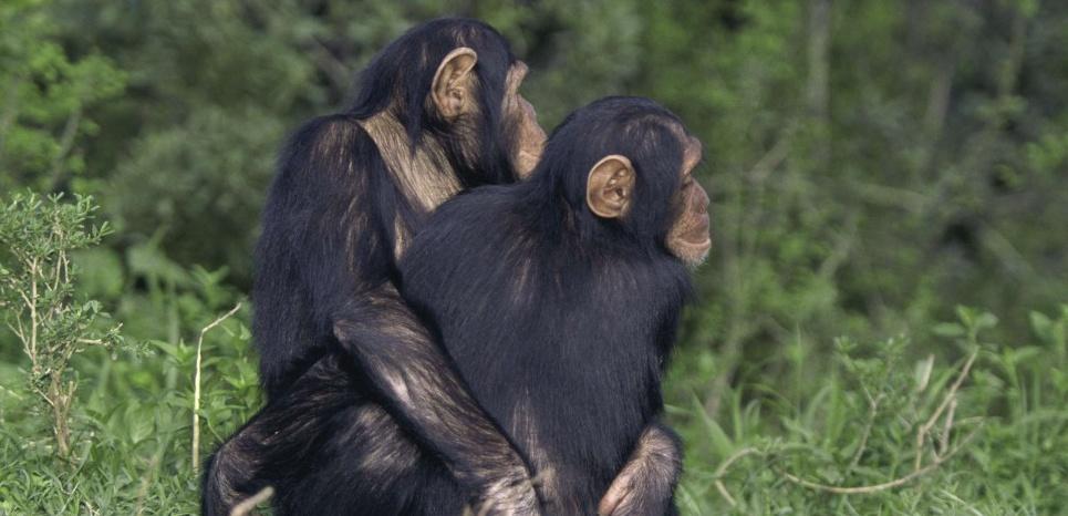 Les laboratoires publics américains renoncent à l'utilisation des chimpanzés. © Brakefield Tom/SUPERSTOCK/SIPA