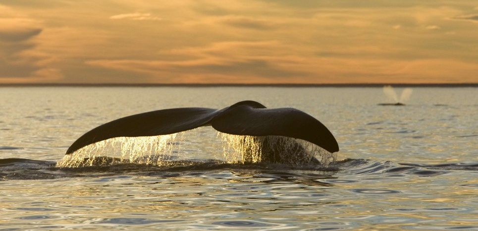 Les baleines franches australes menacées par le réchauffement climatique. © SUPERSTOCK/SUPERSTOCK/SIPA
