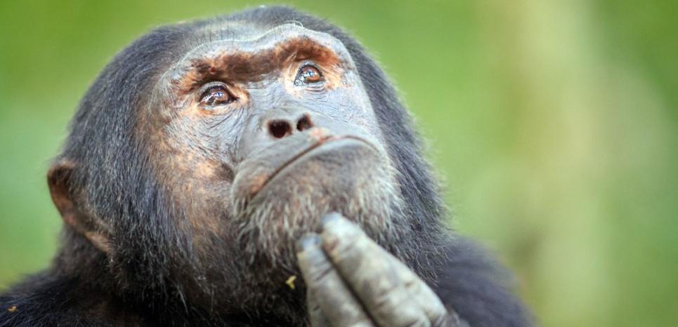 Selon la primatologue Sabrina Krief, les chimpanzés se transmettent la connaissance des soins. ©CATERS NEWS AGENCY/SIPA