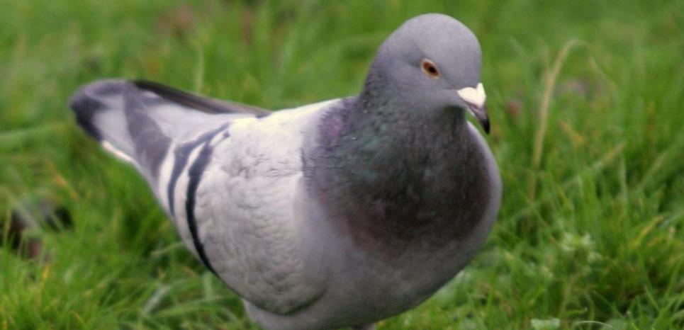 Entraînés, les pigeons sont capables de repérer le tissu cancéreux. ©Mark Sutherland / Rex F/REX/SIPA