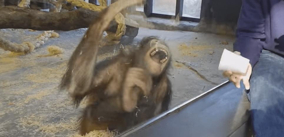 Les singes auraient le sens de l'humour. © Dan Zaleski / Youtube