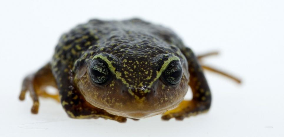 """Pristimantis macrummendozai est une grenouille terrestre dotée de """"sourcils jaunes"""" qui vit dans la lande humide de la Cordillère des Andes, en Colombie. ©HO / INSTITUTO HUMBOLDT / AFP"""