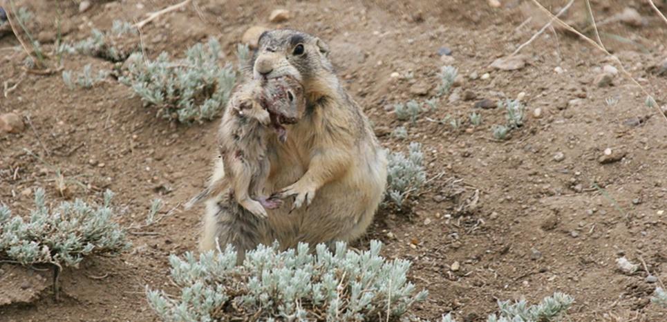 Un chien de prairie avec sa dernière victime dans la gueule. Un comportement jusque-là unique chez les mammifère herbivores. © John L. Hoogland