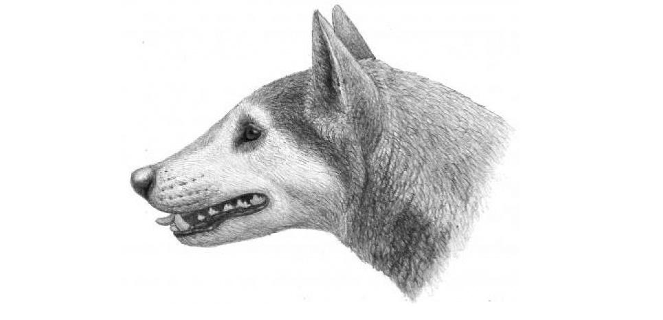 Voici une reconstitution du crâne et du visage de ce canidé préhistorique, Cynarctus wangi, fraîchement découvert. © Crédit Illustration / Mauricio Anton