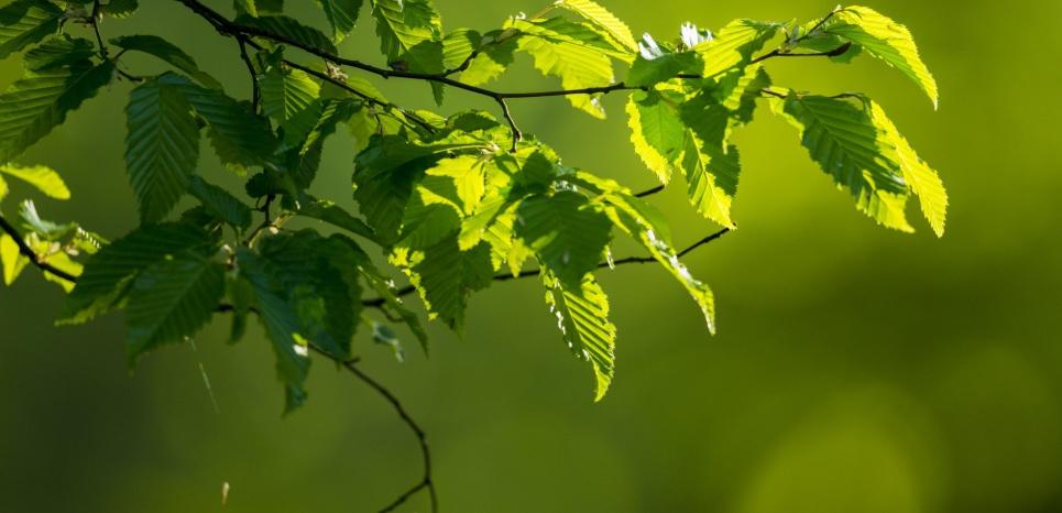 Feuillage printanier de hêtre. Cette espèce est fortement influencée par la pollution lumineuse. Stéphane Bouilland / Biosphoto