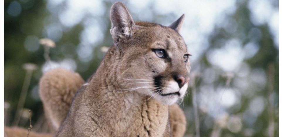 Avec de près de 0,7 cm de longueur de cil, le Puma, ou Cougar (Puma concolor), possède l'un des plus beau regard du règne animal. ©Warden/SUPERSTOCK/SIPA