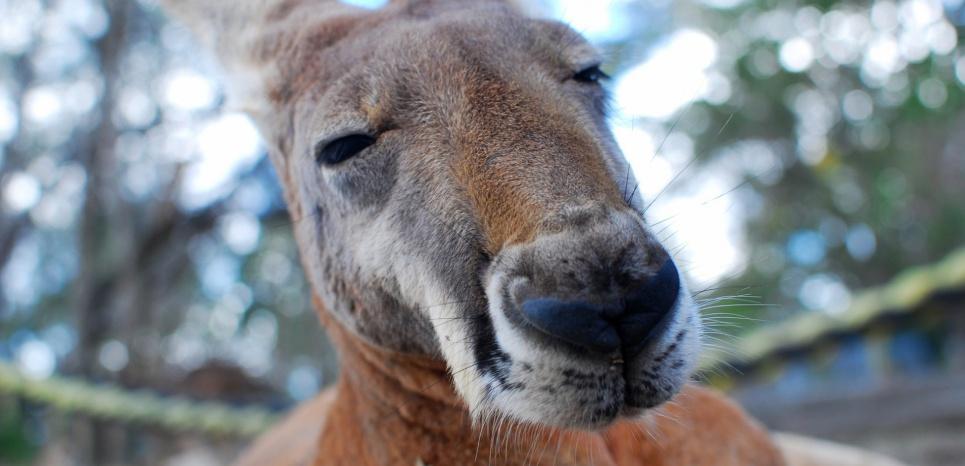 (Illustration d'un kangourou) En Australie et en Tasmanie, les wallabies s'introduisent dans les cultures de pavot somnifère et consomment ces fleurs à opium. ©Pixabay/ CC0 Public Domain/Unsplash