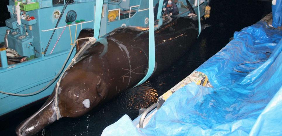 Capture d'une baleine à bec. Cette bérardie de Baird, appartenant à la même famille que la nouvelle espèce trouvée, est chassée dans les eaux côtières du Japon. © NEWSCOM/SIPA