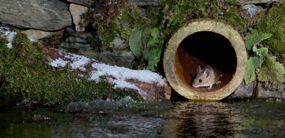 Les souris malades s'isolent pour ne pas infecter leurs congénères © Richard Bowler/REX/REX/SIPA
