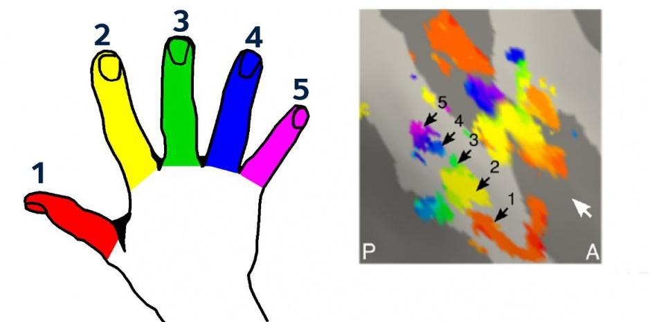 Le cerveau conserve (à dorite) l'image précise de chaque doigt de la main amputée (à gauche) ©Kikkert et al