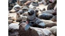 La saison de la chasse aux phoques sur la côte atlantique de Namibie s'ouvre dimanche et quelque 86.000 phoques à fourrure du Cap seront massacrés malgré les protestations des défenseurs des animaux qui dénoncent cette pratique purement commerciale. (c) Afp