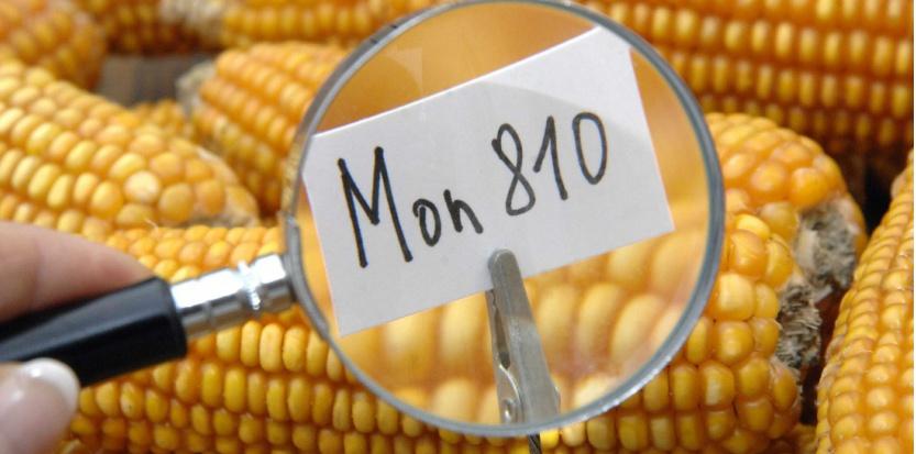 OGM : le maïs transgénique MON 810 définitivement interdit en France