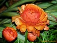 orange3