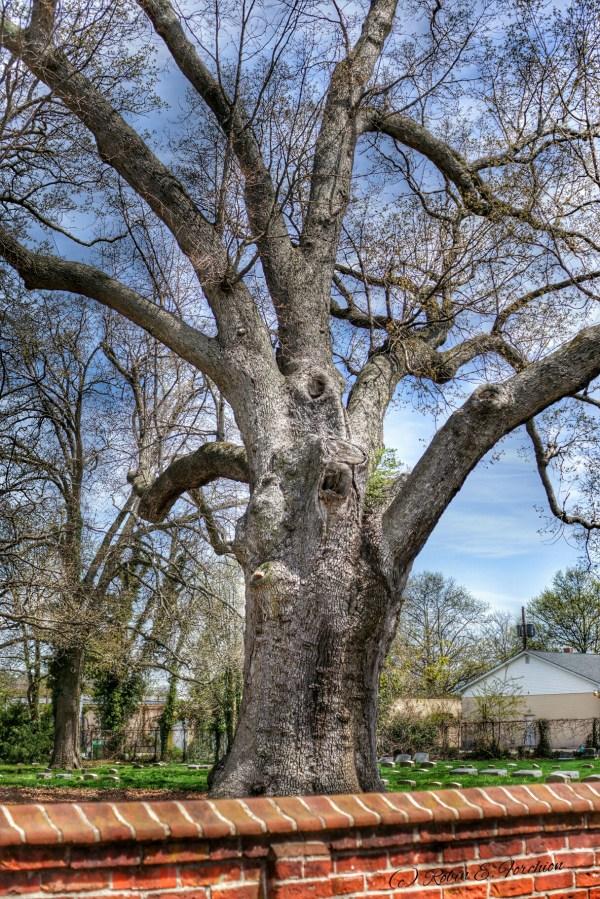 Old Oak Tree4