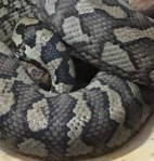close up python skin