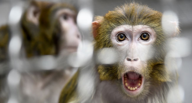 Monkeys Infected With COVID-19 Develop Short-Term Immunity – Study