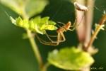 Spinne wickelt Beute ein