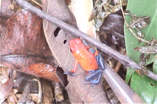 The biome is an important part of any forest design. The poison Dart Frog was photographed in a forest planed in 1999.
