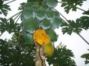 HOLISTIC FORESTS. PAPAYAS AND BANANAS IN THE YOUNG FORESTS FEED THE WILDLIFE
