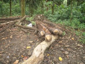 Tree thinning is an essential component of forest management.