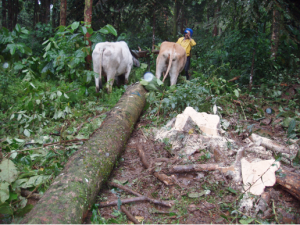 Oxen extract a log thinned from a ten-year-old carbon-offset forest in Costa Rica, managed by Reforest the Tropics, Inc.