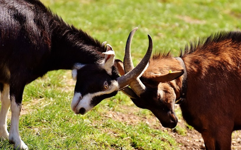 goats, rams butting heads, collission