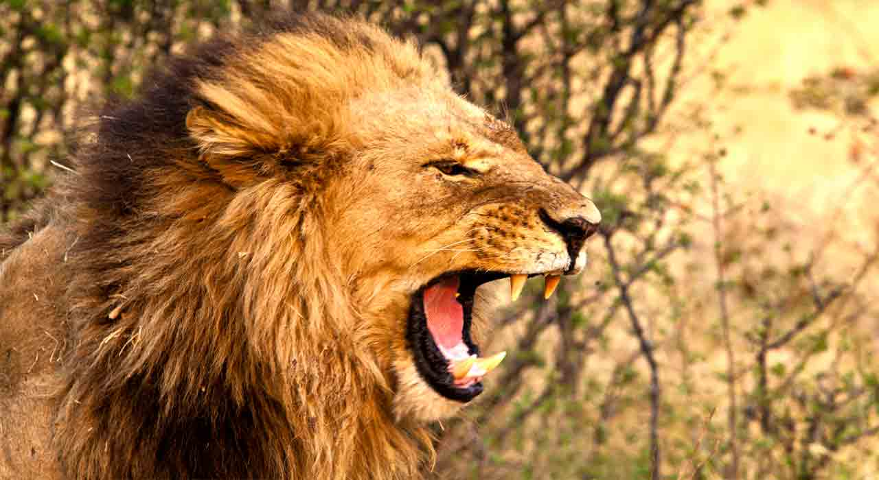December 13 – Jacob's son Judah: A lion to look forward to