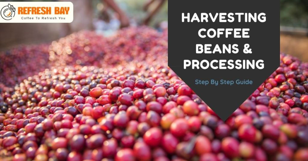 Harvesting coffee Beans and Processing