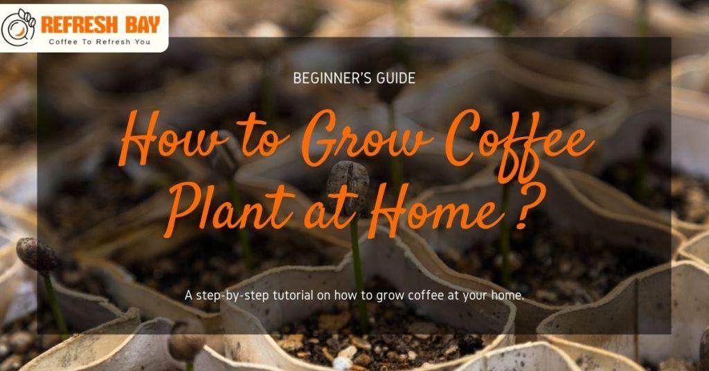 How to grow coffee plant