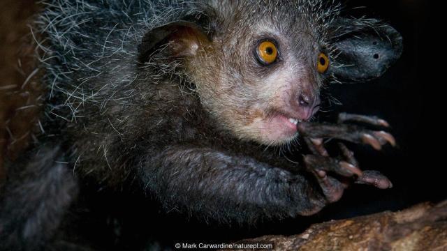 El aye-aye es un lémur  nocturno con un dedo medio extrañamente largo