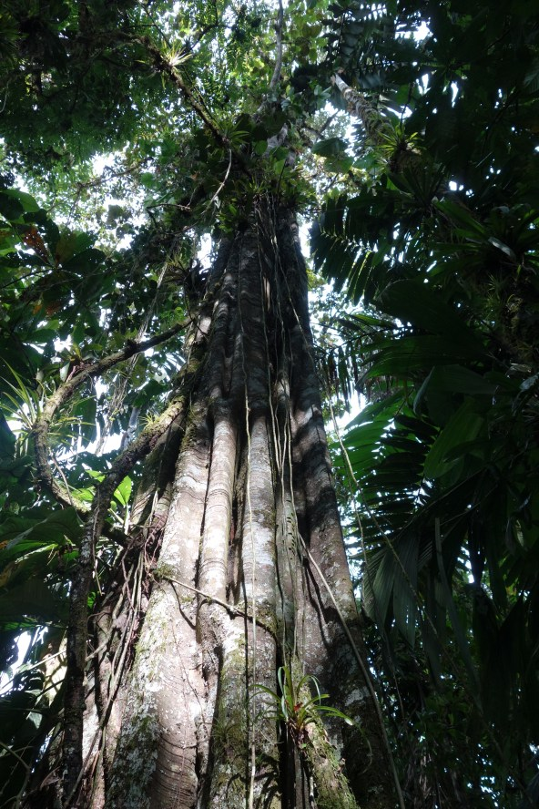 An impressive jungle tree