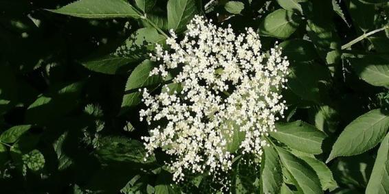 Regain-Mure-fleur-sureau