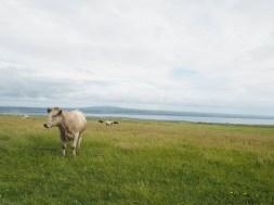 Vaca detrás del paseo de los acantilados en Cliffs of Moher