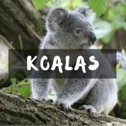 de Koalas. Productos de koalas. Regalomolon.es