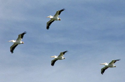 Four American White Pelicans