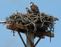 Osprey, Juvenile