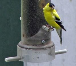 Goldfinch, Male