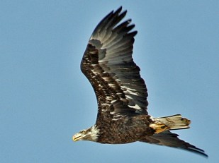 Bald Eagle, Nearly Mature